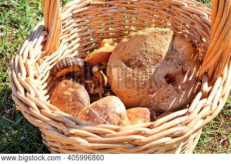 Mushrooms In Basket. Mushroom Picking In A Forest During The Autumn In Nature. An Inedible Mushroom