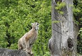 Eurasian Lynx ready to jump in front of forest back poster