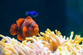 clownfish on a sea anemone in a tank poster