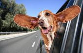 a basset hound in a car poster