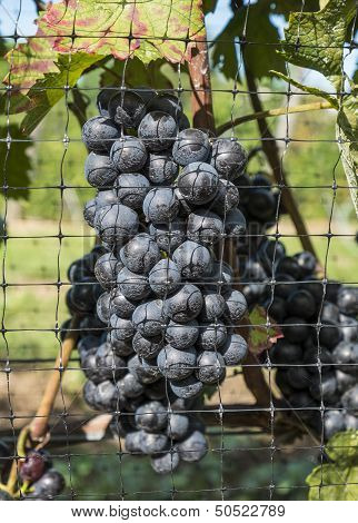 Gamay Red Wine Grapes