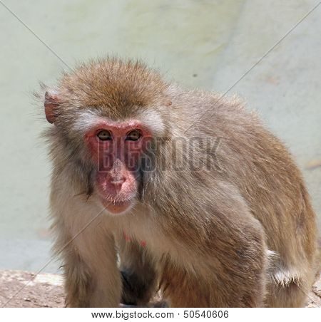 Deep And Meaningful Look Of A Macaque Monkey