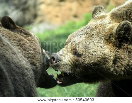 Ferocious Bears Struggle With Powerful Shots And Open Jaws Bites
