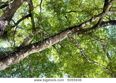Black Olive Tree Canopy