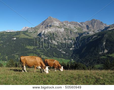 Grazing Simmental Cows
