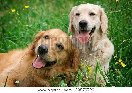 Retrato de dos perros jóvenes jugando en la pradera