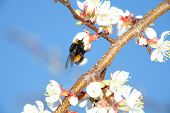 Branch of a blossoming apricot and Bumblebee. Closeup. poster