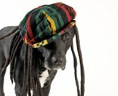 big black dog with funny rastafarian hat poster