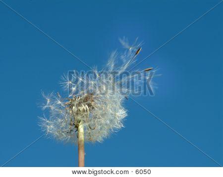 Blown Seeds