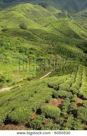 Tea plantation in the mountains of Cameron Highlands Malaysia. poster