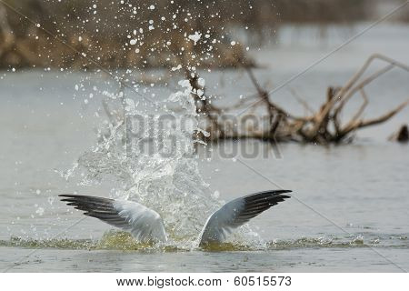 Half Submerged Caspian Tern After An Explosive Dive