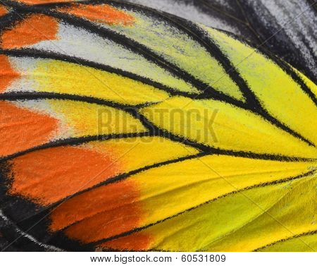 Close Up Of Painted Jezebel Butterfly's Wings In Great Texture