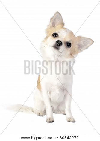 Chihuahua tilting head isolated