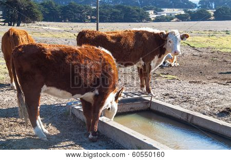 Country Cow