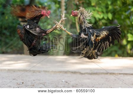 Fighting cocks in a vicious attack clawing at each other with their feet and legs which are fitted with metal gaffs to inflict maximum injury during the cock fight