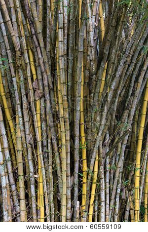 Dense plantation or stand of bamboo canes, a fast growing grass cultivated for its woody culms used in construction and carpentry or used as an animal feed or foodstuff for humans when young