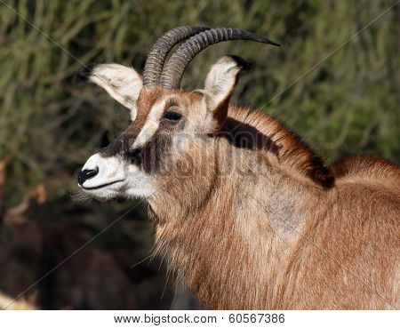 Portrait of a Roan Antelope