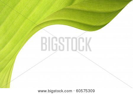 Green Banana Leaf with copyspace