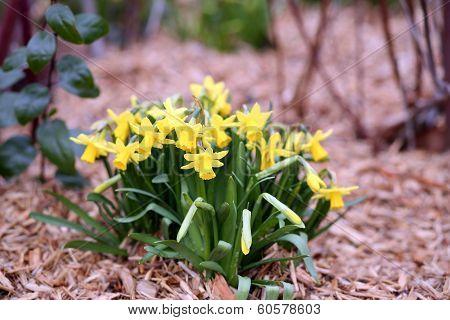 Jonquil, Narcissus Jonquilla