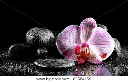 Orchid flower with zen stones  and ladybug on black background  poster