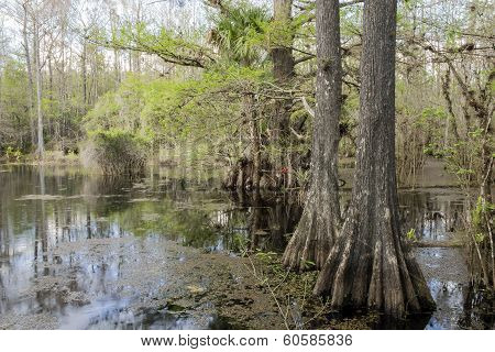 Cypress Trees On Swamp Slough Preserve