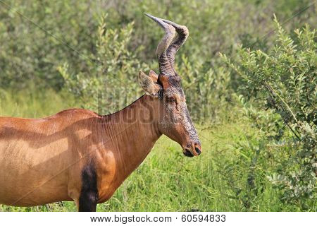 Red Hartebeest - Wildlife Background from Africa - Natural Facial Cream