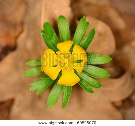 Closeup photo of winter aconite blossom in early spring poster