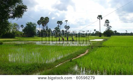 Cambodians Working In The Rice Field