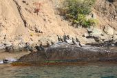Colony crested cormorants on stones. Crimea. Reserve Karadag. poster