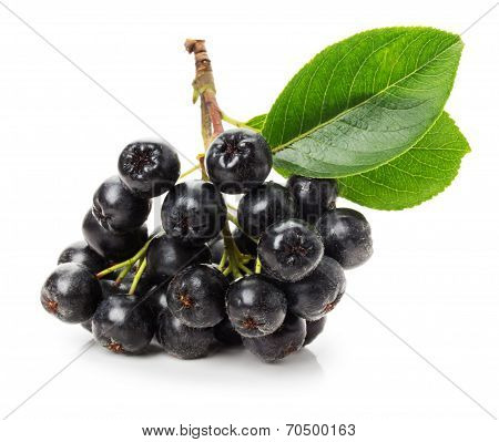 Branch Of Black Chokeberry (aronia Melanocarpa) Isolated On The White Background