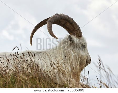 portrait of Kashmir goat at Great Ormes Head, Llandudno, Gwynedd, North Wales