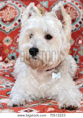 A beautiful pure breed female West Highland Terrier poses on a red pattern background. Commonly known as the Westie or Westy, is a Scottish breed of dog with a distinctive white coat.