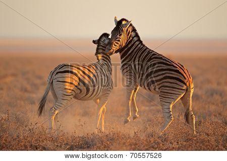 Two Plains (Burchells) Zebra stallions (Equus burchelli) fighting, Etosha National Park, Namibia
