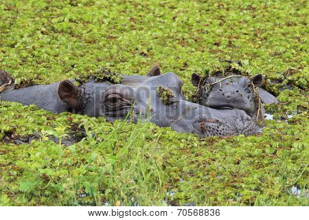 Mother And Baby Hippo In The Okavango Delta Of Botswana.