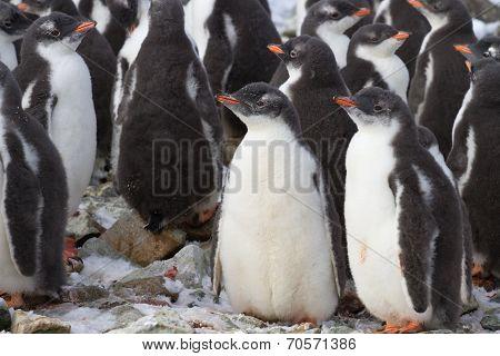 Kindergarten Gentoo Penguin Colony Near