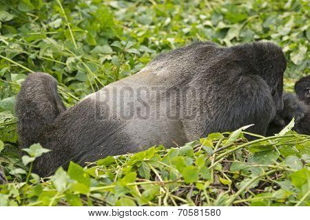 Back Of A Silverback Male Mountain Gorilla