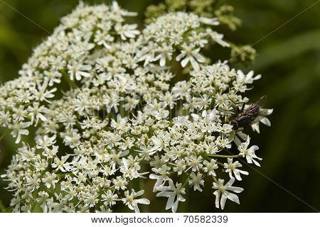 Flora - Blossom Of Deadly Hemlock (coniummaculatum)