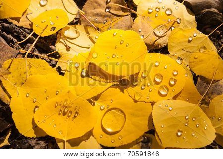 Raindrops pool on Aspen leaves in Colorado poster