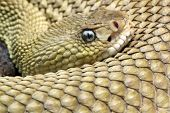 crotalus basiliscus is a venomous rattlesnake species found in mexico. poster