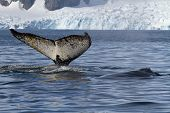 tail and back of two humpback whales swimming in the background of glaciers poster