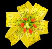 Yellow Asiatic lily with Black Spots and Orange Anthers Isolated on Black poster
