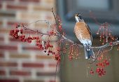 American robin sitting in a berry tree on cold winter day poster