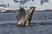 humpback whale flippers that flips under water poster