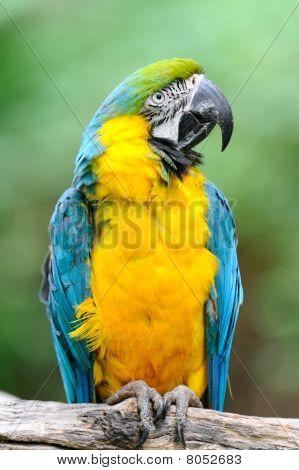 Blue-and-yellow Macaw - (Ara ararauna)