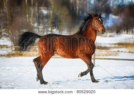 Running Browny Horse