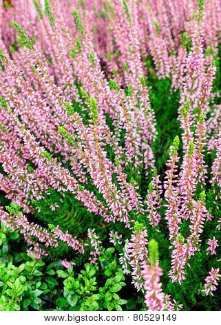 Heather Flowers Blossom In Autumn