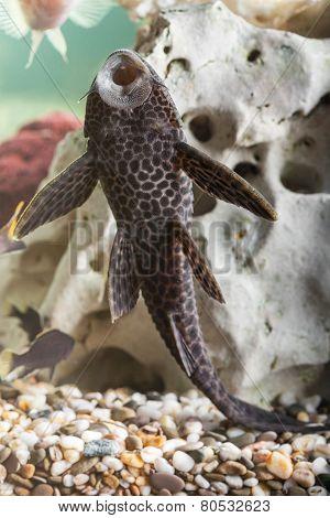 Aquarium Catfish Closeup