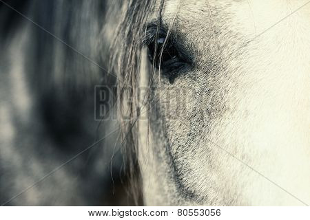 Arabian Horse Eye