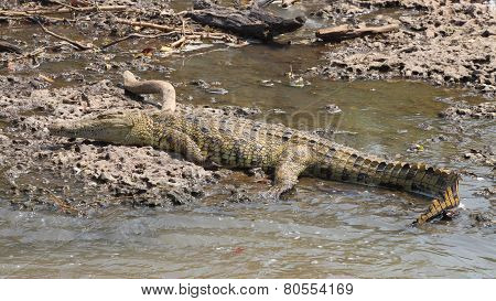Young Crocodile On The Bank Of A River
