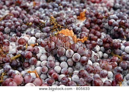 Frozen Pinot Gris